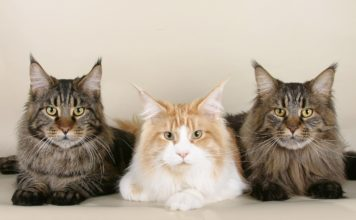 Gatto Maine Coon