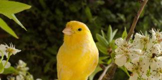 uccelli granivori